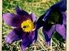 jura-fleur-IMG_2261