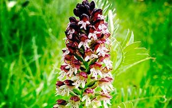 orchidées du jura